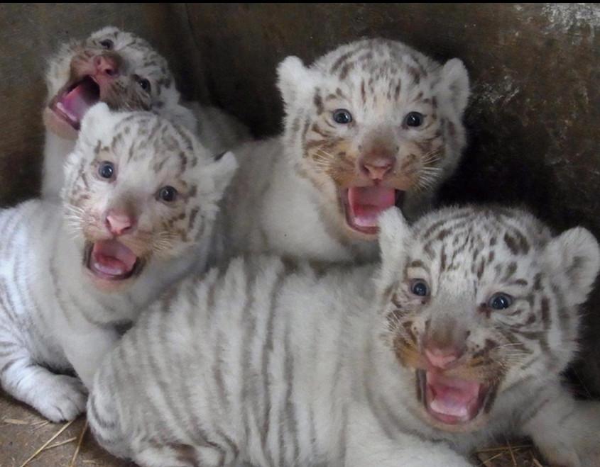 """日本东京""""突比""""动物园诞生4只可爱的白虎幼崽"""